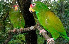 Tuxtepec, hábitat natural de pericos y loros pese a falta de conservación ambiental